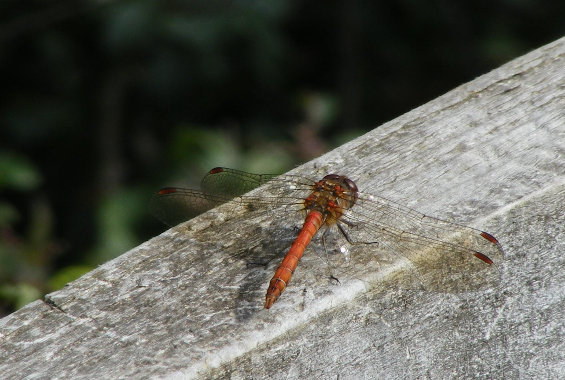 A common darter